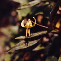 American Trout Lily